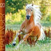 Haflinger Boiselle 2020